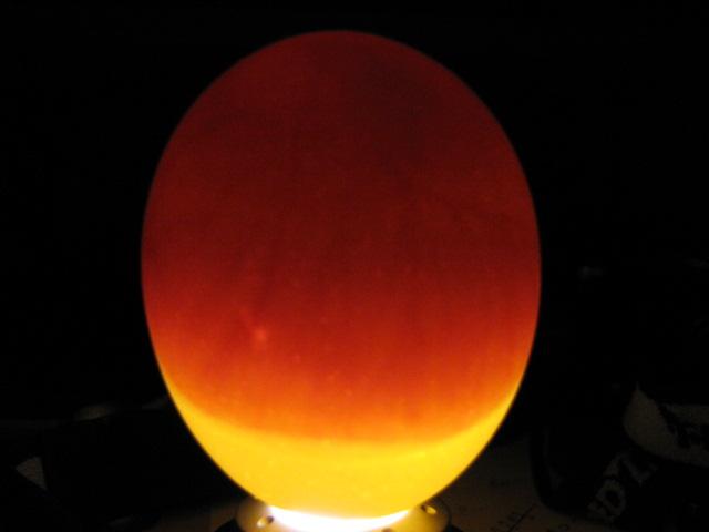 Oplozené vejce po 7 dnech v líhni.